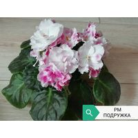 Фиалка РМ ПОДРУЖКА, взрослое растение с Фото.