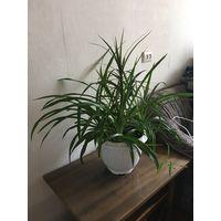 Драцена на 3 точки роста и хлорофитум в большом вазоне напольное красивые пышные здоровые растения