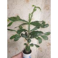 Кактус- дерево