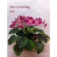 Фиалка Mac's Scorching Sun полумини - лист