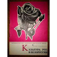 Культура роз в Белоруссии.