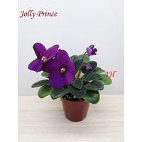 Фиалка Jolly Prince полумини - крупная детка