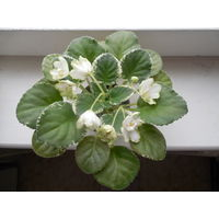 Фиалка ЛЕ-Нимфея, цветущая розетка
