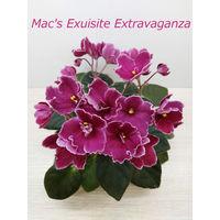 Фиалка Mac's Exuisite Extravaganza полумини - св. лист