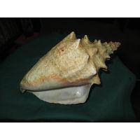 С 1 рубля.Океанская ракушка,рапан.Большая-25 см.